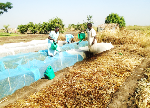 """Beneficiaries during watering of seedlings at Hai zira """"1"""" nursery bed site"""
