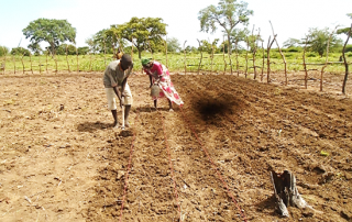 Participants during row planting practical for cowpeas in Riang Nyor farmer's group