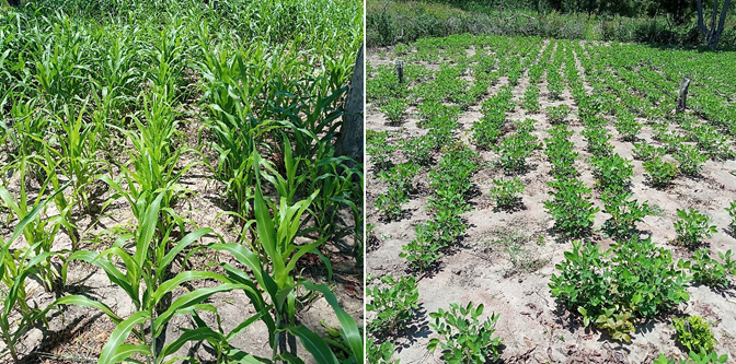 Sorghum and Groundnuts planted in Majak bol and Mayom Kuol Demo plots in Aweil North County respectively