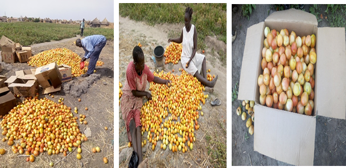 """Beneficiaries during post-harvest activities (Sorting, grading and packing) of Tomatoes in Hai zira """"2"""" vegetable group Aweil Center County"""