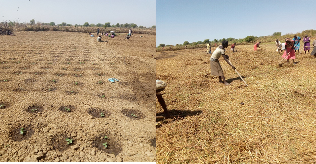 Beneficiaries during land preparation Tiit ku-luoi vegetable group field for okra in Aweil North