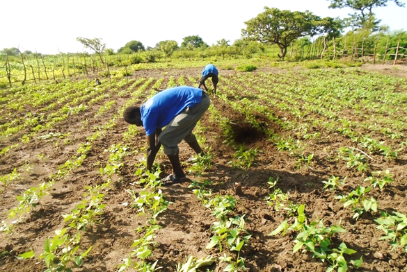 Participants during thinning session in kuom demo plot