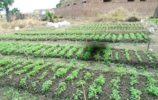 Seedlings at Hai zira one raised nursery bed site