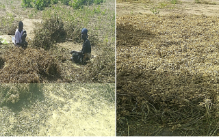 Members of Hillapok Production group during plucking off groundnut pods in Aweil Center County