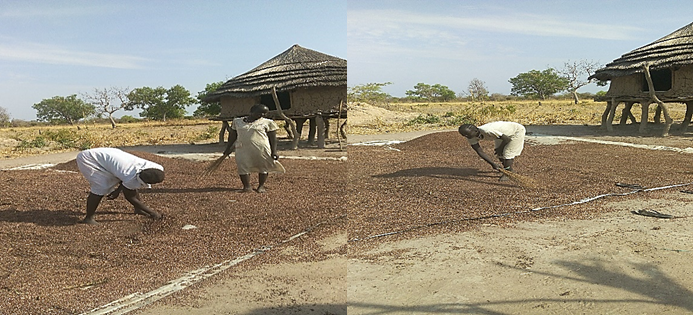 Members of Broad cooperative society during threshing and sorghum cleaning